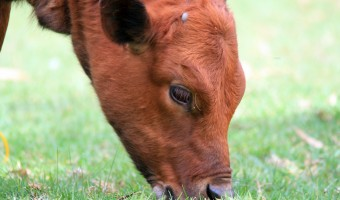 <p>Old Red Cow - <a href='/triptoids/old-red-cow'>Click here for more information</a></p>